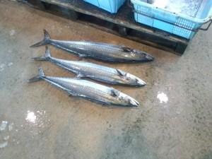 水揚げされたばかりの魚